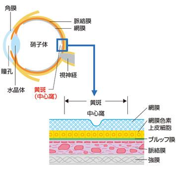 正常な網膜と脈絡膜の図